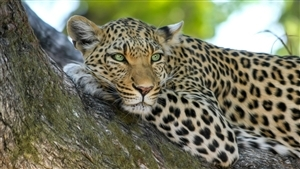 Leopard in Indian Forest