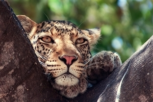 Leopard on Tree HD Photo