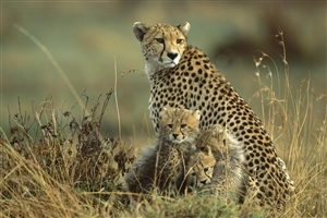 Leopard with Two Baby Child Wallpaper