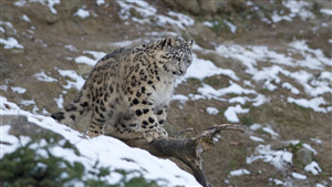 Pretty Leopard in Winter Snow