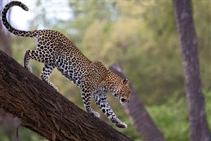 Wild Animal Leopard Come Down From Tree Wallpaper