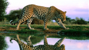 Wild Leopard Awesome Pic