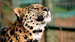 Wild Leopard Photo Download