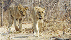 2 Lion Walking in Gir Forest National Park