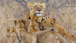 4K Fabulous Image of Lion Family