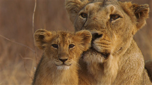 4K Photo of Lion with Cub in Gir Forest National Park