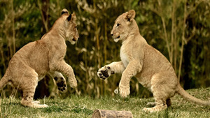 5K Wallpaper of Lion Cub Playing