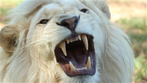 5K Wallpaper of White Lion Roaring