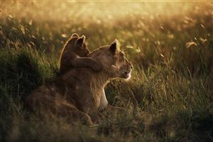 African Lion with Child Cub