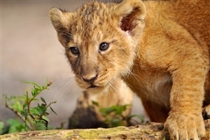 Beautiful Lion Cub Wallpaper
