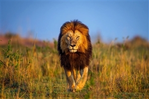 Big Lion Walking in Jungle