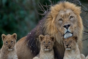 Big Lion with Cub HD Wallpaper Background