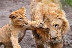 Cute Baby Cub Play with Lion HD Wild Animal Photos