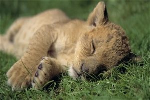 Cute Baby Lion Cub Sleeping Nicely HD Wallpaper