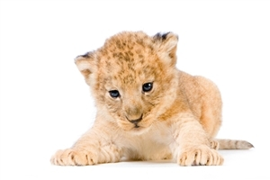 Cute Lion Cub Animal HD Wallpaper