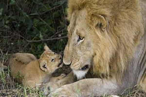 Cute Lion Cub with His Father HD Wallpapers
