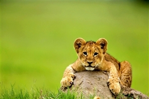 Fearless Lion Cub Seating on Stone Image