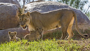 Female Lion with 2 Cutest Child Cub