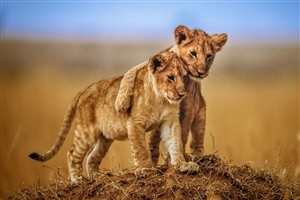 Friendship of Two Lion Cub Photo