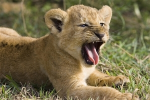 Lion Cub HD Photo