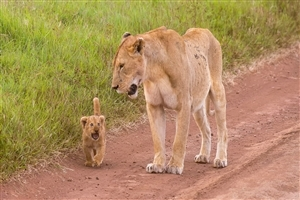 Lion Cub with His Mother Walking Photo