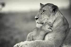 Lion Love with Child Cub