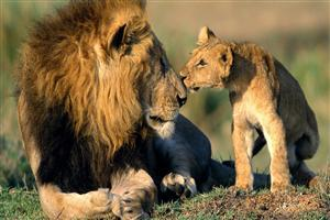 Lion with Cute Cub