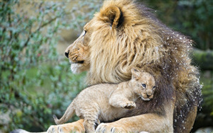 Superb Wallpaper of Animal Lion with Baby Cub