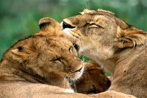 Two Lion Doin Love Each Other