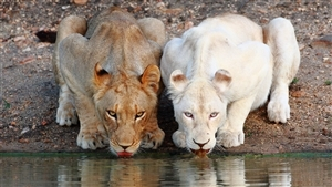 White Lion and Lion Drink Water Superb Wallpaper