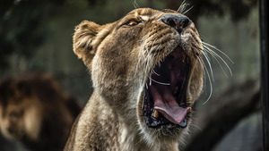 Wild Lion Opening Mouth in a Huge Yawn 5K Wallpaper