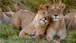 Wild Lion Romance Love Together