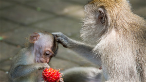 5K Superb Pic of Baby Monkey Eat Fruit with Mother