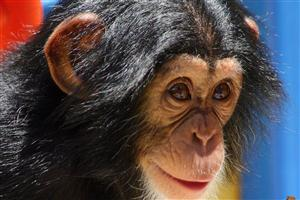 Animal Chimpanzee Baby Image