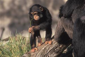 Baby Chimpanzee Walk in Tree