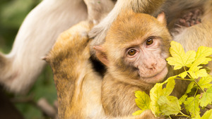 Cute Animal Monkey Baby