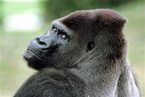 Gorilla looking back