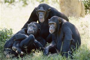 HD Chimpanzee Family Wallpaper
