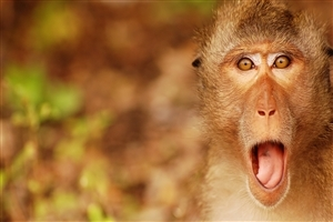 monkey wallpapers | free download best wild animals hd desktop images