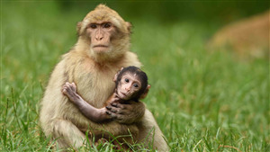 Monkey Mom Care His Child