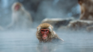 Monkey Swimming in Water