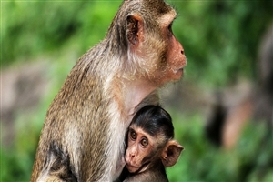 Mother Monkey and Baby Child Wallpaper