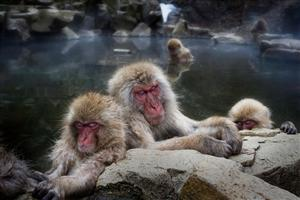 Sleeping Monkeys