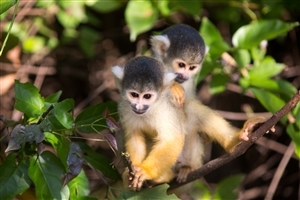 Two Monkey in Forest Tree HD Wallpaper