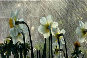 Beautiful Rain on Flower Wallpaper