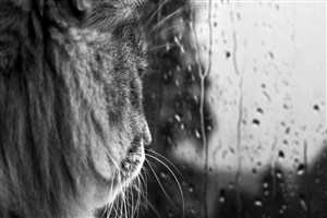 Cat Looking at Window During Monsoon Season Photo