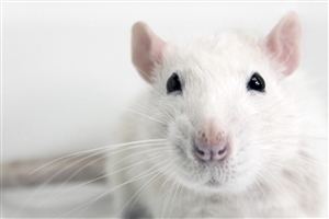 Animal White Mouse Face Closeup HD Wallpaper