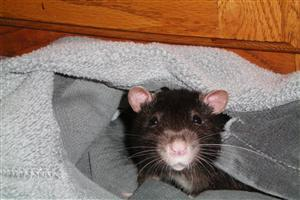 Black Rat in Cloth