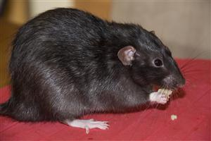 HD Black rat Pics