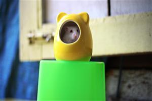 Rat in Toy
